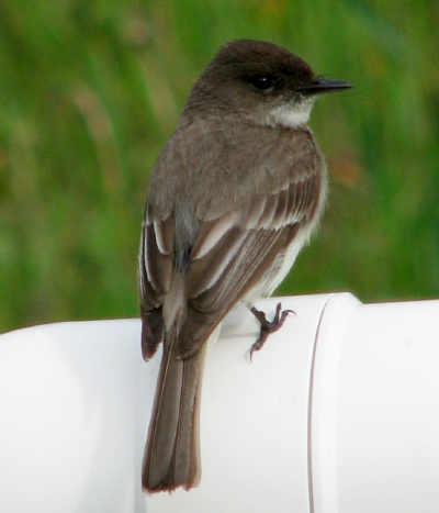 Eastern Phoebe photo by Alice Hill
