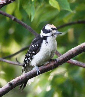 Hairy Woodpecker, juvenile