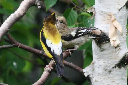 Evening Grosbeak feeding young