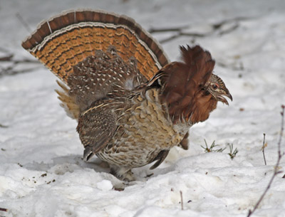 Ruffed Grouse, red-phase