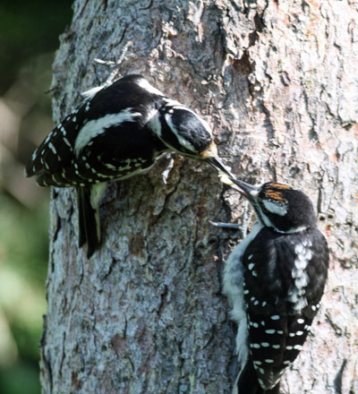 Hairy Woodpecker feeding young