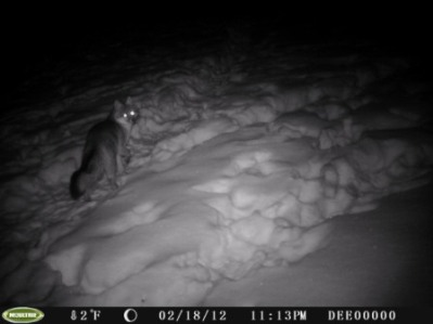 Gray Fox in trail cam