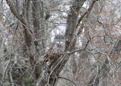 Great Gray Owl in tree