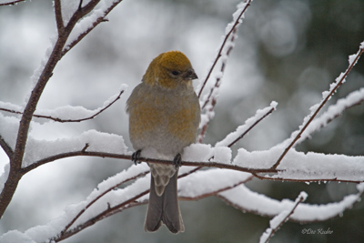 Pine Grosbeak, female