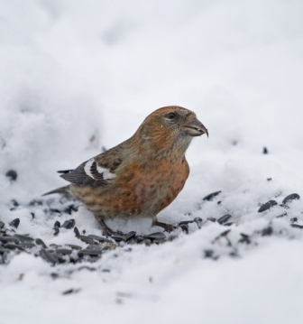 White-wing Crossbill, female