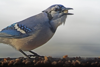 Blue Jays love peanuts!