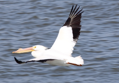 American White Pelican, photo by Doug Stone