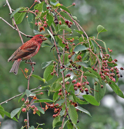 Purple Finch and Serviceberries