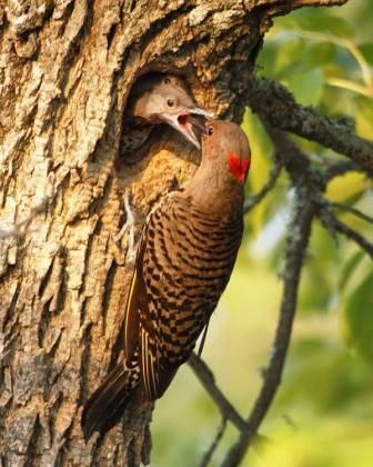 Northern Flicker family by Kris Hoyt
