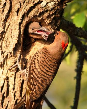 Northern Flickers by Dave Hoyt