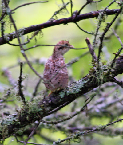 Spruce Grouse fledgling