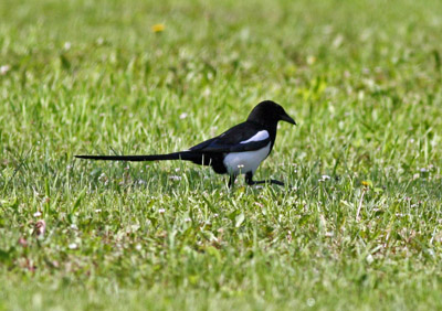 Magpie irruption? - Crane Lake Nature Blog