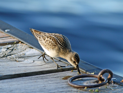Sandpiper, one of the peeps