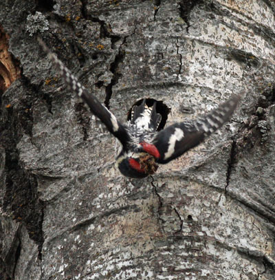 Sapsucker with fecal sac