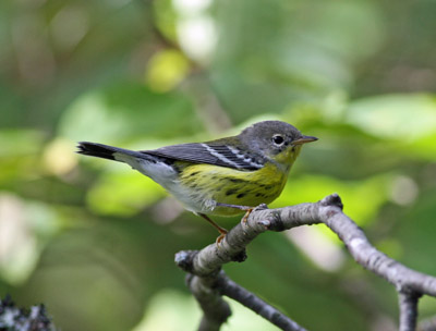 magnolia warbler fall - photo #40
