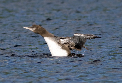 Common Loon, juvenile