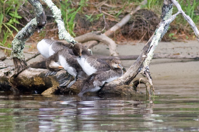 Hooded Merganser youngsters