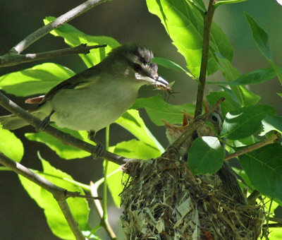 Red-eyed Vireo and nestlings