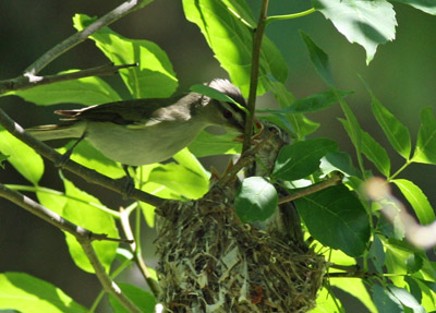 Red-eyed Vireo feeding young